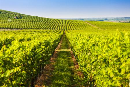 wineyard near Villany, Hungary Stock Photo