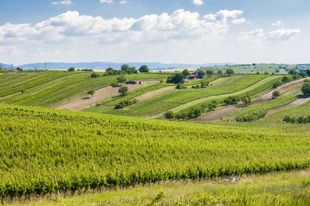 vineyards, Palava, Moravia region, Czech Republic