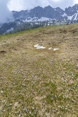 early spring blooming meadow with crocus in Alps, Italy