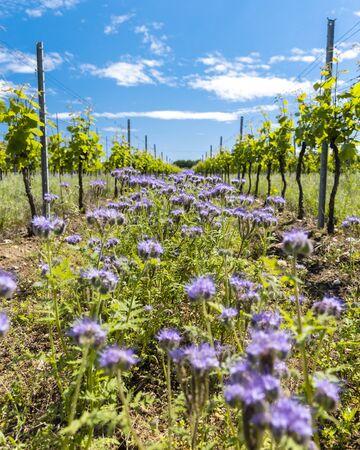 floral spacing in organic vineyard, Moravia, Czech Republic