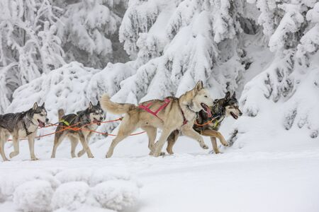 sledge dogging, Sedivaceks long, Czech Republic