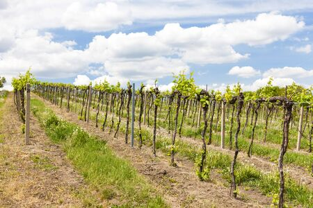 vineyards, Palava, Moravia region, Czech Republic