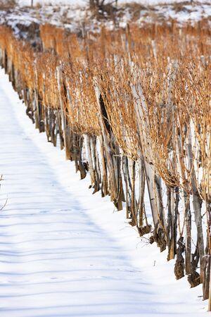 Wineyards near Sarospatak, Tokaj region Hungary