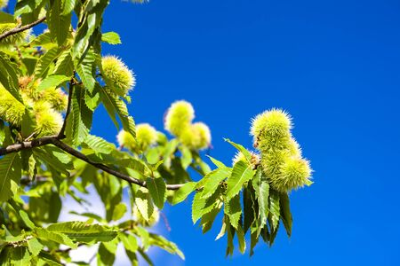 Chestnut in august on the blue sky Imagens