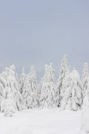 Winter landscape fir trees covered with snow Banque d'images - 130123034