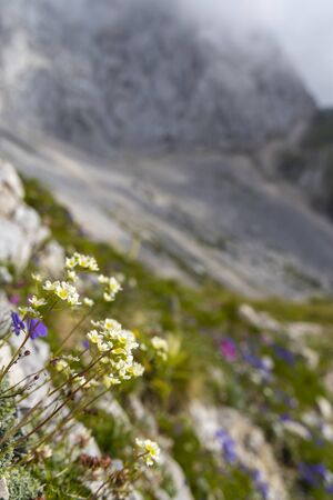 Mountain flora near Mangart, Triglav national park, Julian Alps, Slovenia