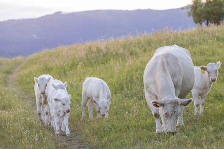 White cows, region Spis, Slovakia