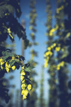 Hop field in Zatecz region, Czech Republic