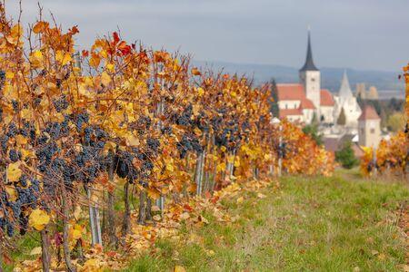 Vineyard in autumn near Pulkau, Lower Austria, Austria 免版税图像