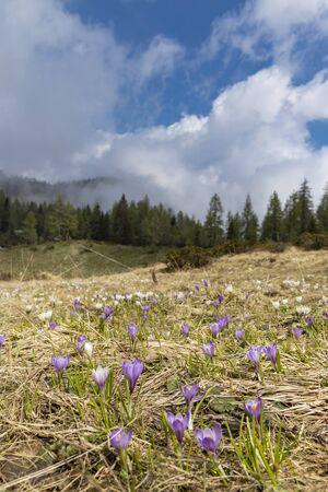 early spring blooming meadow with crocus in Sella di Rioda, Alps, Italy Standard-Bild - 140373514