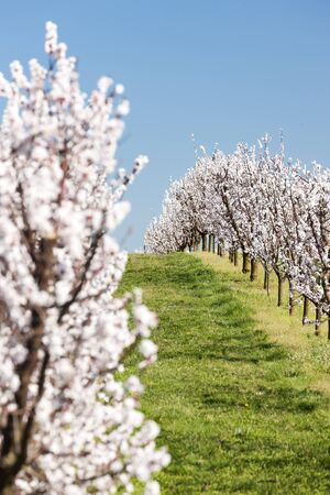 Landscape with blossoming orchard in Spring Standard-Bild - 140373501