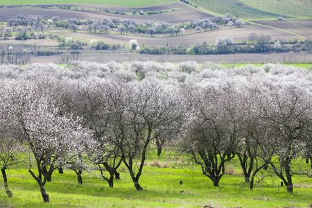 Landscape with blossoming orchard in Spring, Velke Pavlovice, Czech Republic