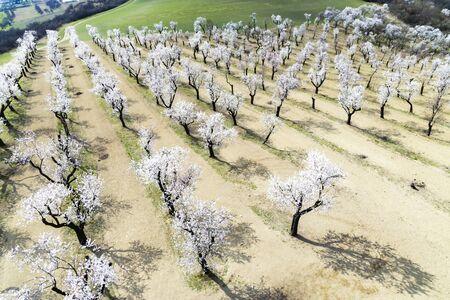 Almond tree orchard in Hustopece, South Moravia, Czech Republic