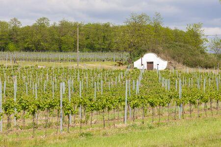 vineyard in south Moravia, Czech Republic