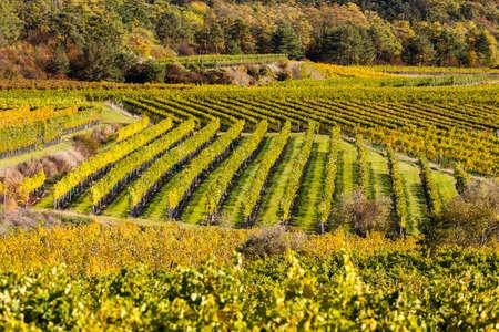 autumn vineyard near Langenlois, Lower Austria, Austria Banco de Imagens