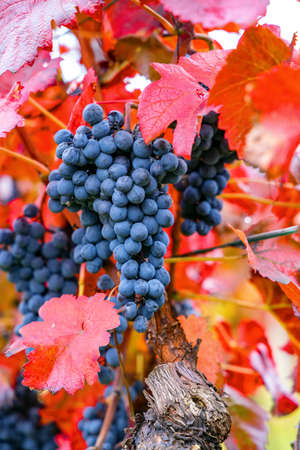 Blue grapes Alibernet in autumn vineyard, Southern Moravia, Czech Republic 写真素材