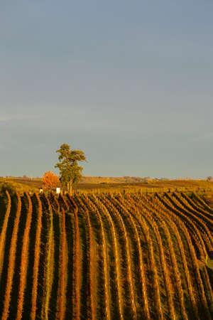 Autumn vineyard near Cejkovice, Southern Moravia, Czech Republic