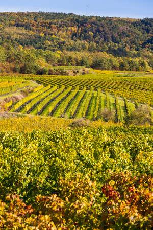 autumn vineyard near Langenlois, Lower Austria, Austria