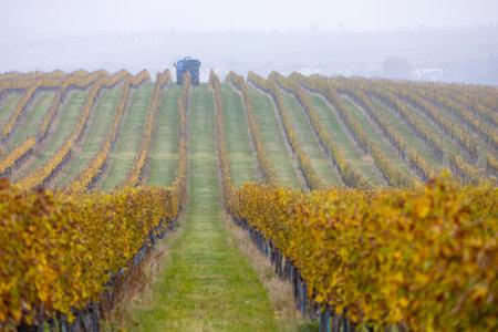 harvesting grapes with a combine harvester, Southern Moravia, Czech Republic Zdjęcie Seryjne