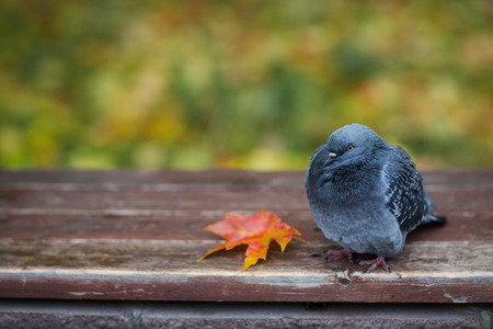Pigeon sits on a bench and freezes in autumn.