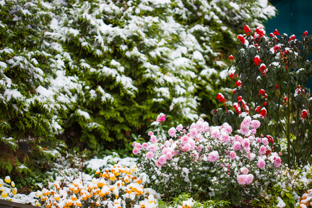 autumn flowers under early snow. frontage in winter. 版權商用圖片