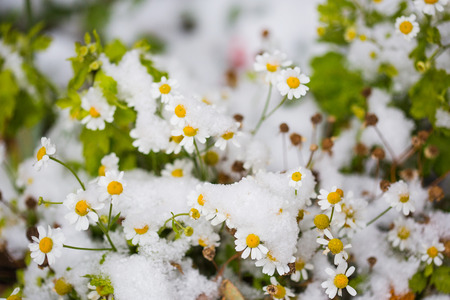 autumn flowers under early snow. chamomile in winter.