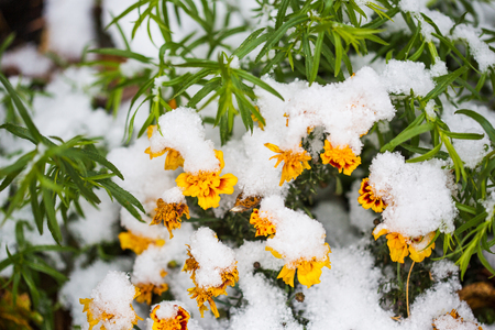 autumn flowers under early snow. calendula in winter.