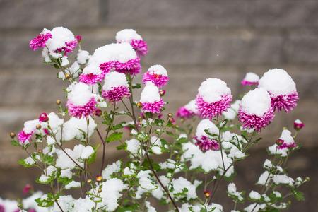 autumn flowers under early snow. chrysanthemums in winter. 版權商用圖片