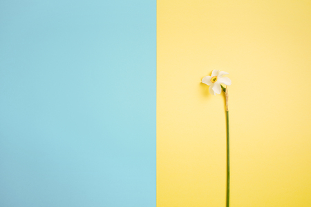 Flower white-yellow narcissus on on yellow-blue background. Minimalism, copy space 스톡 콘텐츠