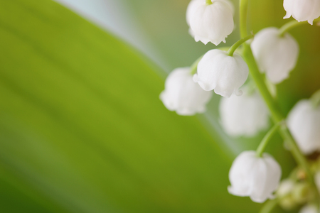 lilies of the valley on a background of green leaves. 스톡 콘텐츠