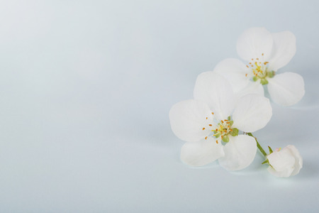 Apple flowers spring background for congratulations on mothers day, womens day. copy space.