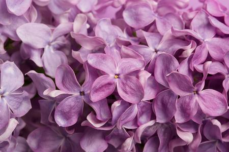 lilac branch close-up. spring purple flowers macro.