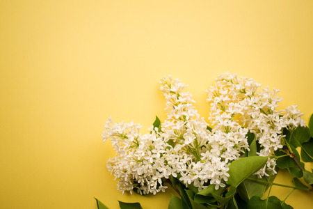 branch of white lilac on a yellow background. minimalism.