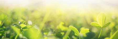 spring grass in sun light. natural green background with selective focus. clover leaves close up. long banner. 스톡 콘텐츠