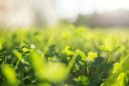 spring grass in sun light. natural green background with selective focus. clover leaves close up.