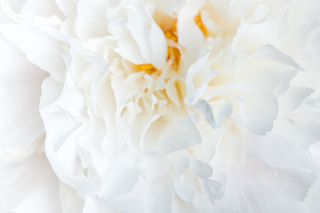 white peonies close-up. delicate floral background