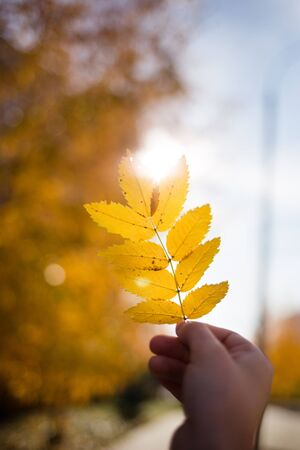 Hand holding yellow Rowan leaf against the sun on autumn background