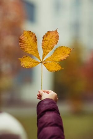 Hand holding yellow chestnut leaf on autumn city background