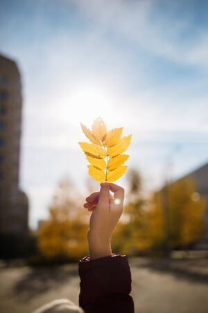Hand holding yellow Rowan leaf against the sun on autumn city background Banco de Imagens