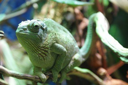 vivarium: Chameleon on a branch of a tree