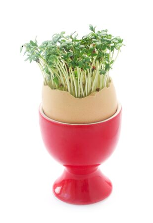 Garden Cress Growing Out Of An Eggshell In A Red Eggcup Isolated On White