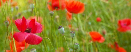 Field Of Poppy In Summer