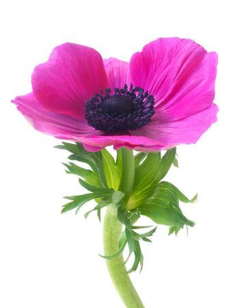 Pink Anemone Isolated On White Zdjęcie Seryjne