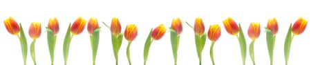 Banner Of Red And Orange Tulips Isolated On White