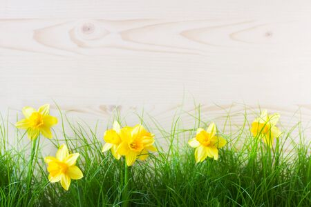 Spring Background With Grass And Daffodils