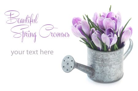 Crocuses In A Miniature Watering Can With Copy Space Isolated On White 版權商用圖片