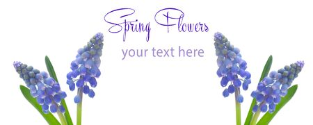 Grape Hyacinths With Copy Space Isolated On White