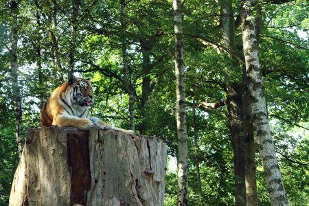 siberian tiger: Siberian Tiger rest on a large tree stump Stock Photo