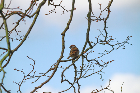 danmark: house sparrow sitting at branch