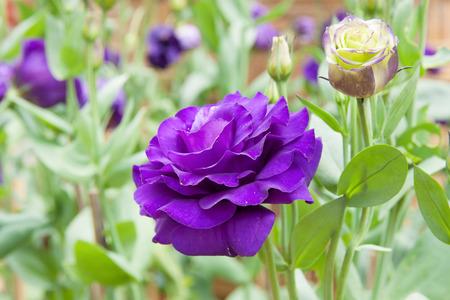 blue rose: Blue rose in flower garden at thailand
